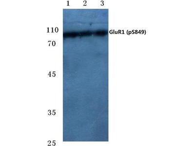 Phospho-GluR1 (Ser849) Polyclonal Antibody