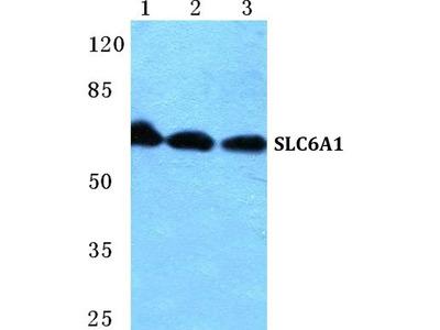 SLC6A1 Polyclonal Antibody