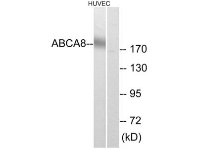 ABCA8 Polyclonal Antibody
