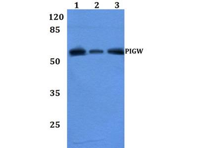 PIGW Polyclonal Antibody