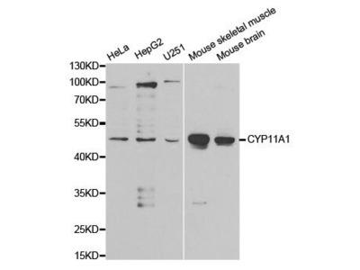 CYP11A1 Polyclonal Antibody