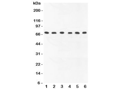 COX1 Antibody