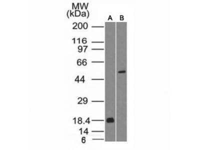 SOX10 Antibody (Mouse Monoclonal)