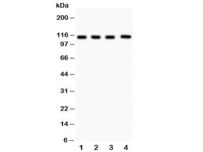 Neuropilin 1 Antibody