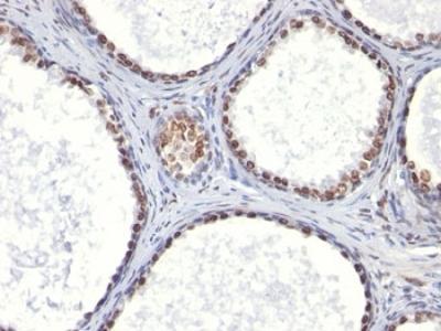 AR Antibody (Mouse Monoclonal)