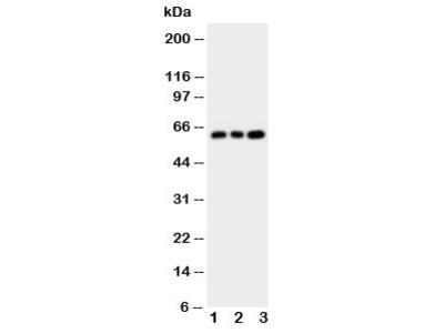 Chk2 Antibody