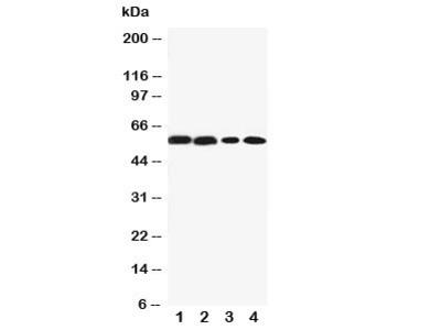 CYP1A2 Antibody