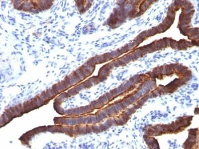 MUC1 Antibody / Mucin-1 / EMA (Mouse Monoclonal)
