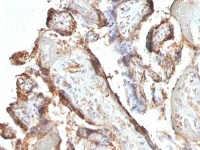 hCG Holo Antibody (Mouse Monoclonal)
