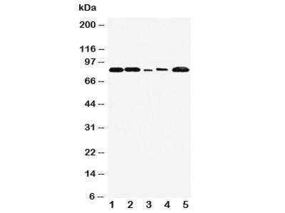 FGFR1 Antibody