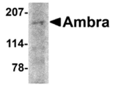 RABBIT ANTI AMBRA1 (N-TERMINAL)