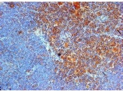 GOAT ANTI MOUSE CD289 (N-TERMINAL)