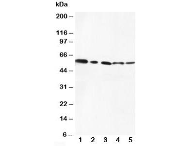 AKT1/2 Antibody