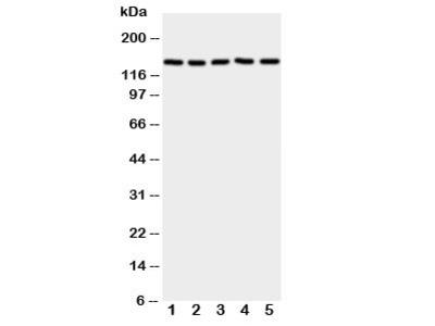 RFC1 Antibody