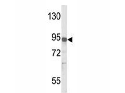 IL17RD Antibody