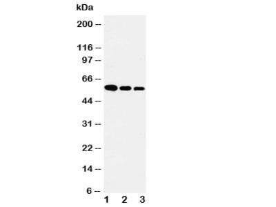 Fetuin-A Antibody
