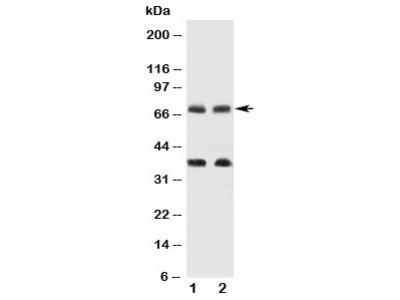 GAT-1 Antibody