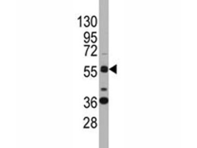 SOX9 Antibody