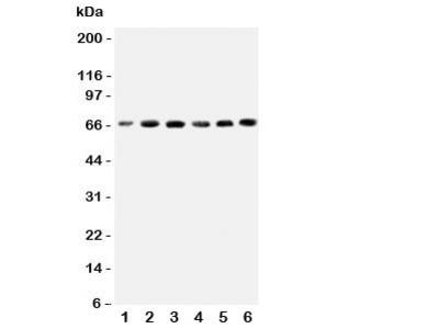 CETP Antibody