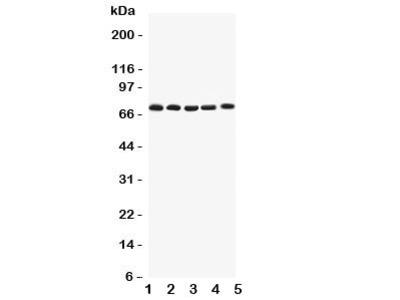 Kv1.4 Antibody