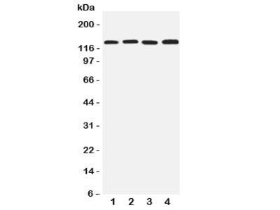 TJP2 Antibody (ZO-2)
