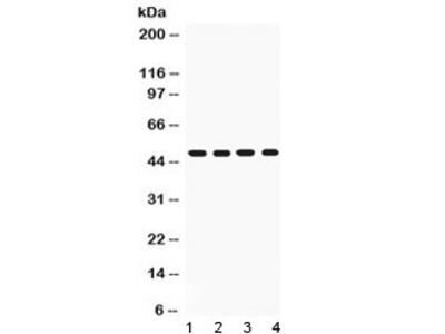 CD95 Antibody