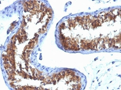 MVP Antibody / Major Vault Protein (Mouse Monoclonal)