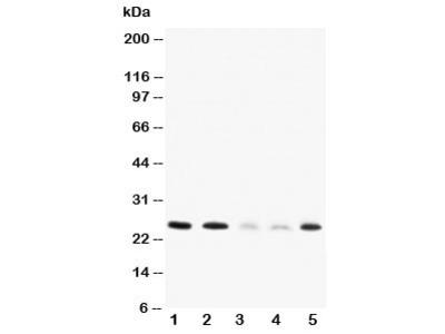 Pleiotrophin Antibody