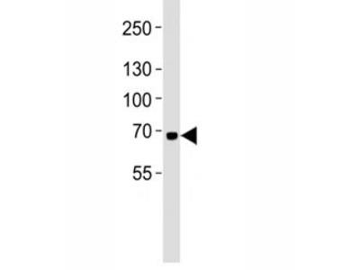 LTF Antibody (Mouse Monoclonal)