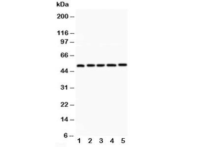 LXR alpha Antibody (NR1H3)