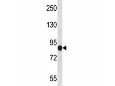 NLRP6 Antibody