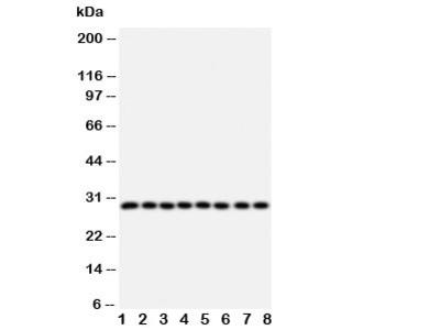 CISH Antibody