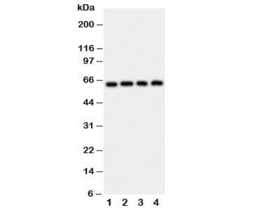 p62 Antibody