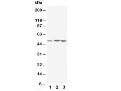 NR1H3 Antibody (LXR alpha)