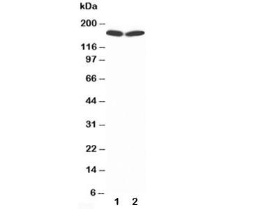 nNOS Antibody