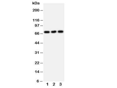 SERT Antibody (Serotonin transporter)