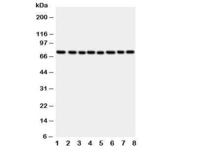 CYPOR Antibody