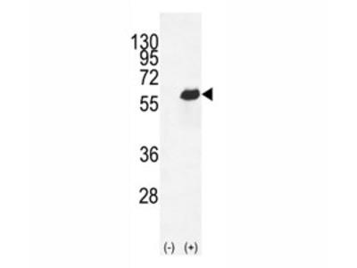 Osteopontin Antibody