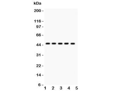 PIM-1 Antibody