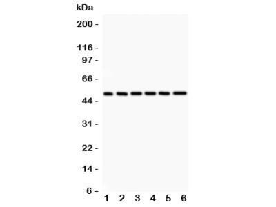 p50 Antibody