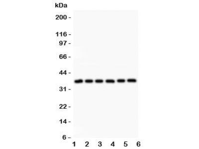 Crk Antibody p38
