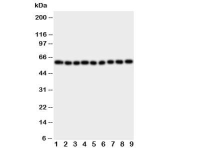 IL5RA Antibody