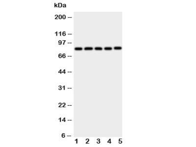 Ku80 Antibody
