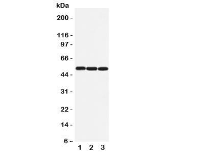 Beta Arrestin 1 Antibody