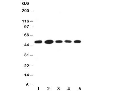 HIP Antibody HSC70 Interacting Protein