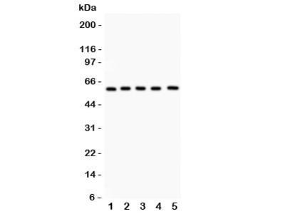 LRH-1 Antibody