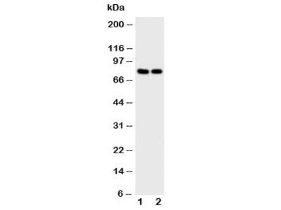 NFAT2 Antibody