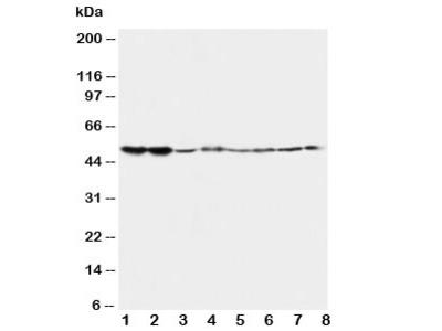 5HT2A Receptor Antibody