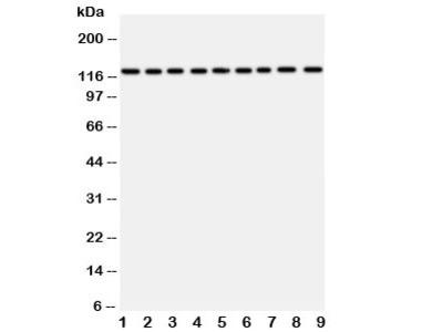 TRPC3 Antibody