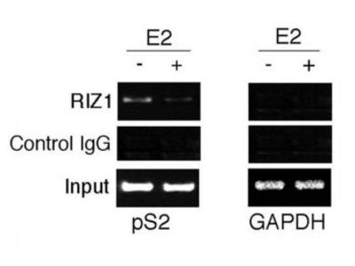 PRDM2 Antibody / RIZ1 (Mouse Monoclonal)